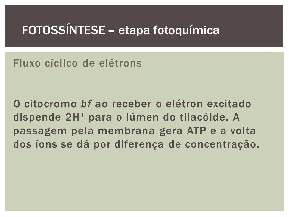 Fluxo cíclico de elétrons O citocromo bf ao receber o elétron excitado dispende 2H + para o lúmen do tilacóide. A passagem pela membrana gera ATP e a