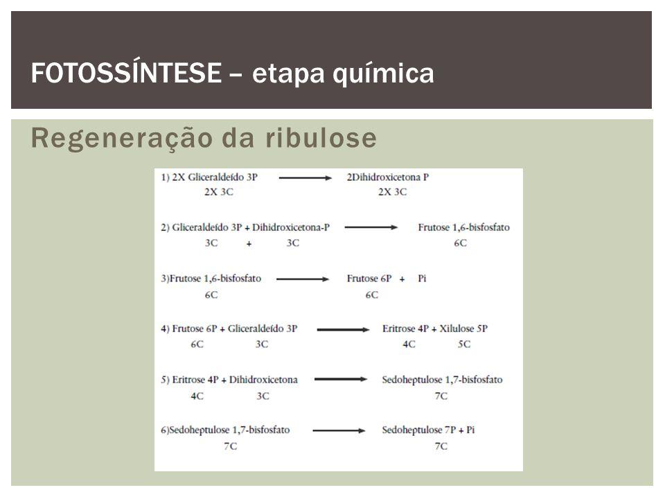 Regeneração da ribulose FOTOSSÍNTESE – etapa química