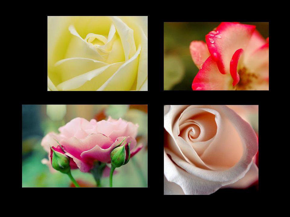 Já não é mais possível encontrar flores, mesmo que se percorra a cidade inteira. Flores para as Noivas de Shiraz, - carinhosa designação que por toda