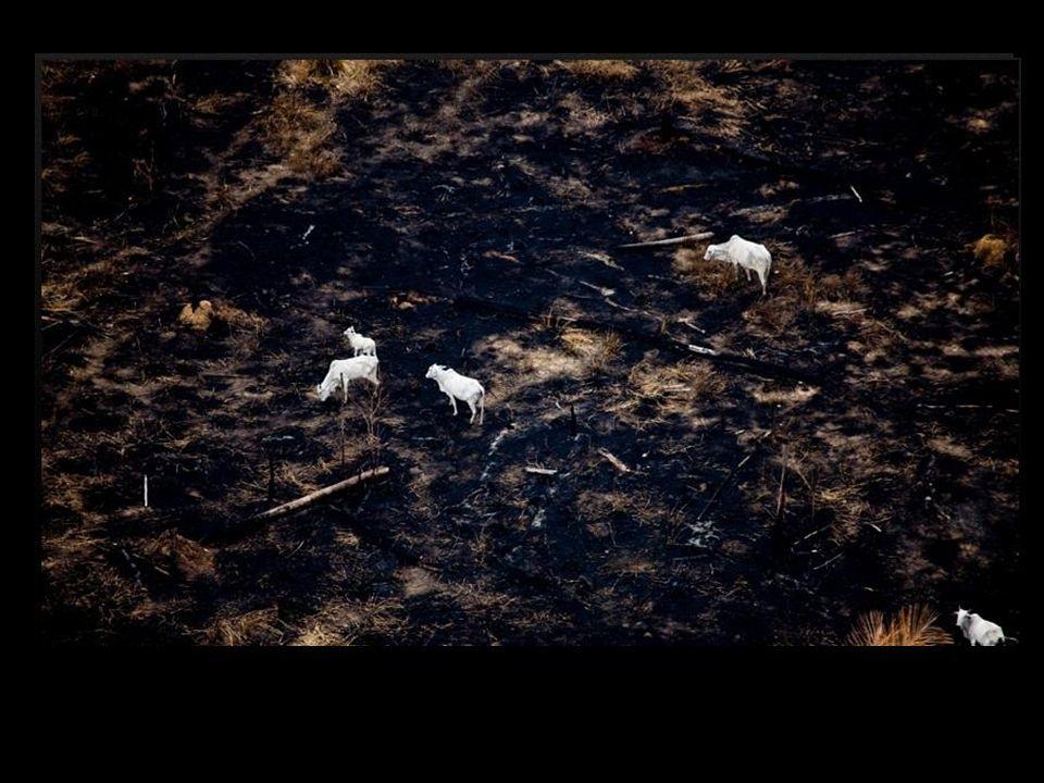 Em breve, mais uma plantação de soja ou pasto para o gado. AaAa A terra ferida e arrasada, pronta para a plantação do capim ou da soja.
