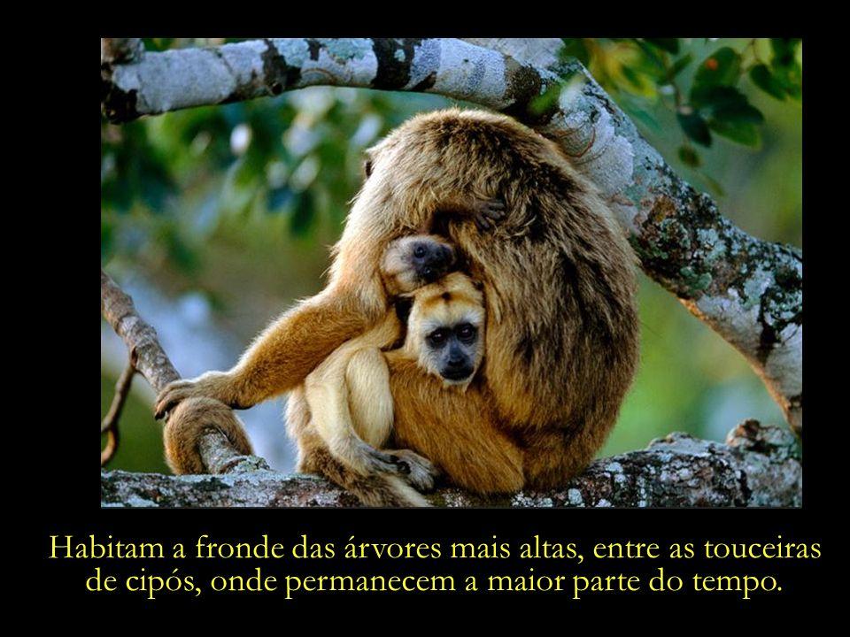 Macacos da espécie bugio (também conhecido por macaco- uivador) – alimentam-se predominantemente de folhas, flores, brotos, frutos e caules de trepade