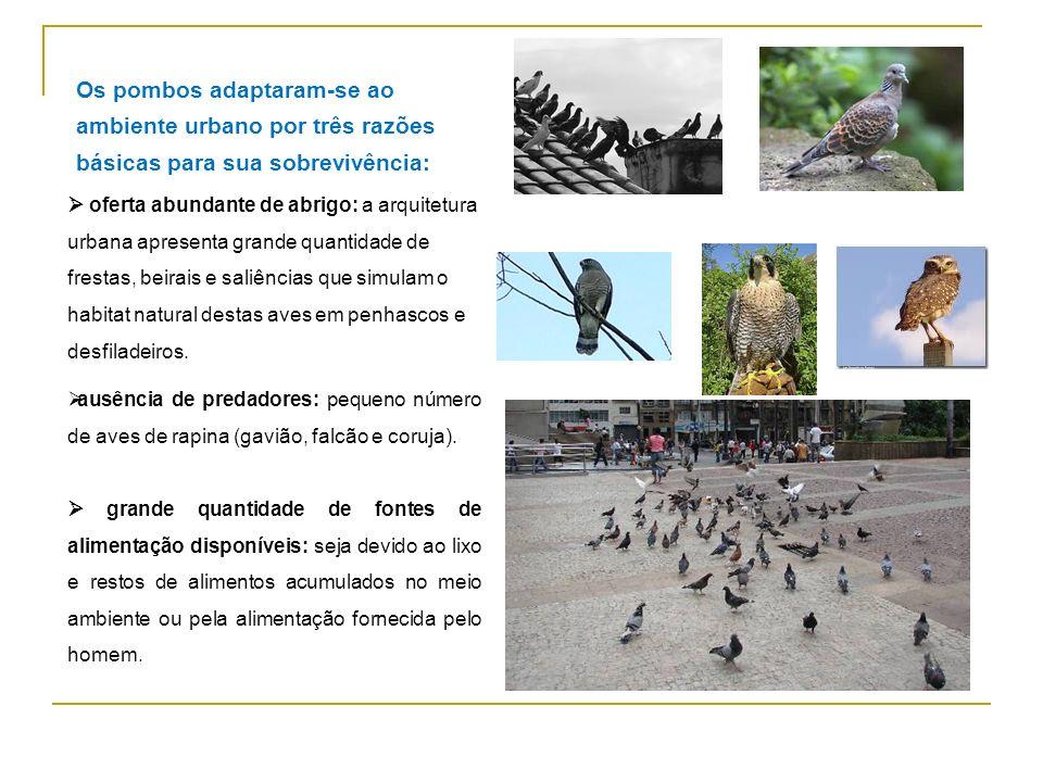 POMBOS As pombas domésticas (Columba livia) são originárias do Continente Europeu; Foram introduzidos na América do Sul por volta do século XVII;