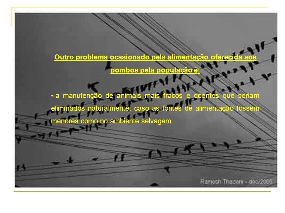 A alimentação de maneira descontrolada e inadequada promove mudanças dos hábitos e das características gerais dos pombos, tais como: maior postura de