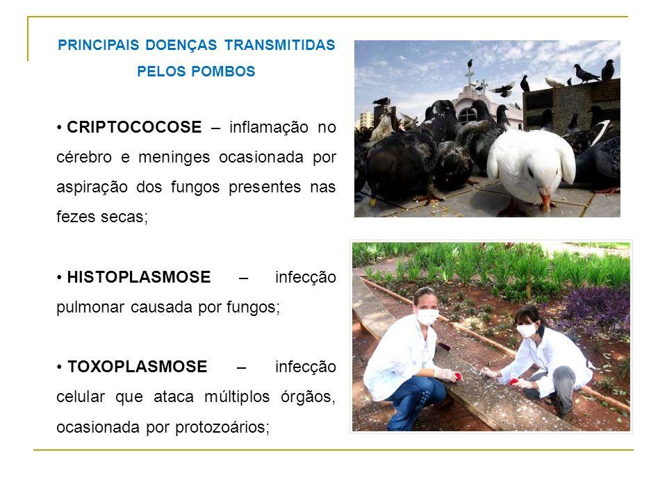 Outro problema ocasionado pela alimentação oferecida aos pombos pela população é: a manutenção de animais mais fracos e doentes que seriam eliminados