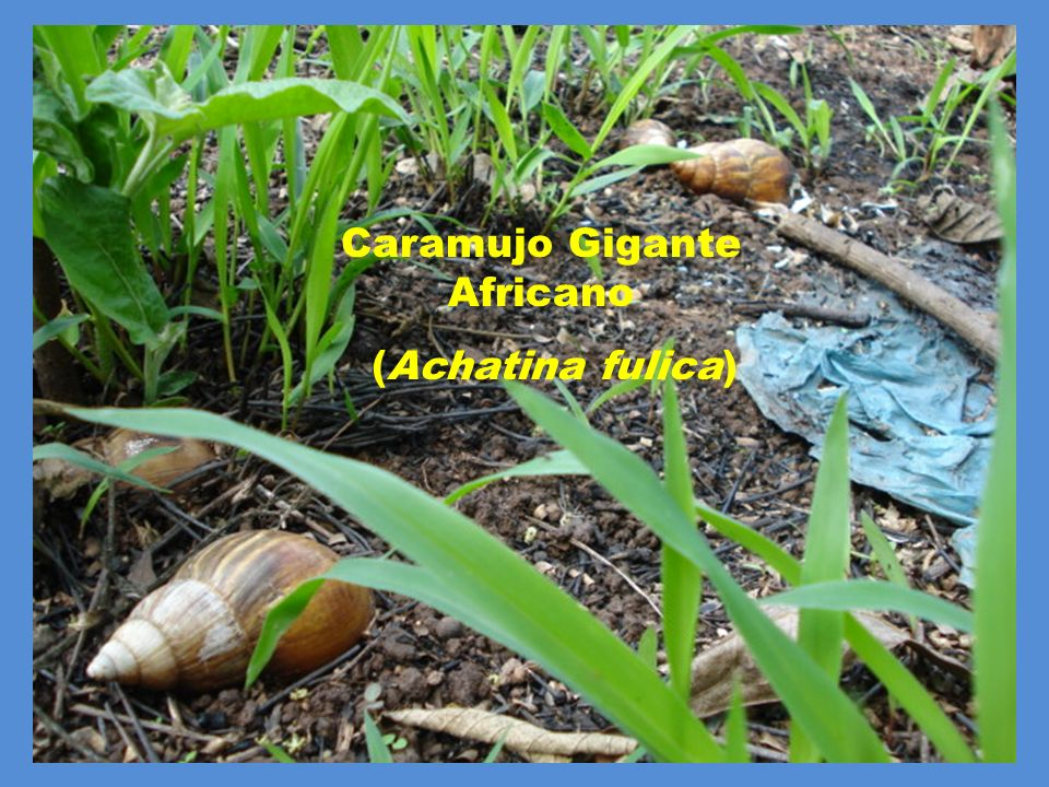 Caramujo Gigante Africano (Achatina fulica)
