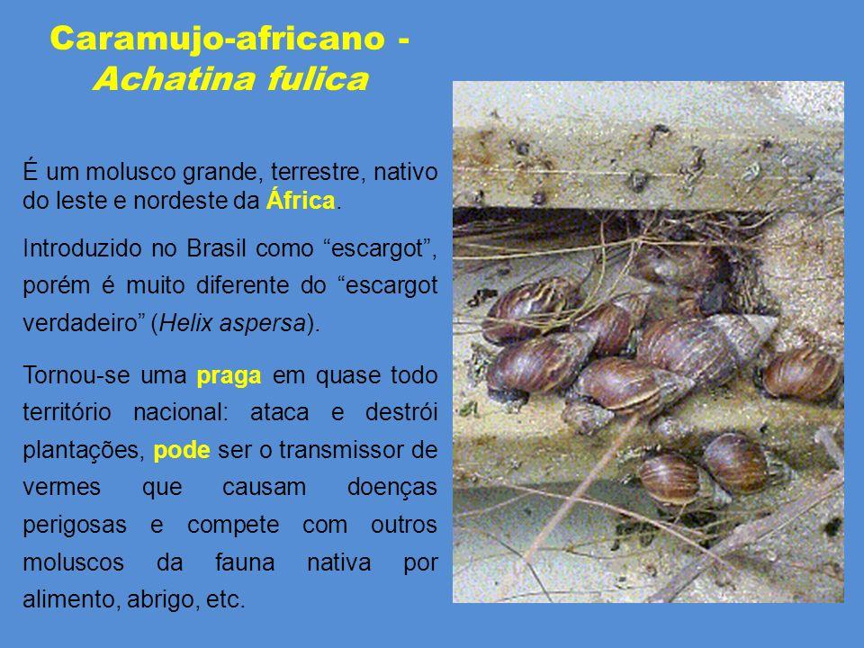 Caramujo-africano - Achatina fulica É um molusco grande, terrestre, nativo do leste e nordeste da África.