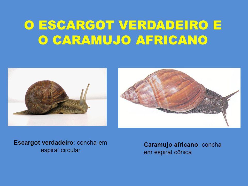 O ESCARGOT VERDADEIRO E O CARAMUJO AFRICANO Caramujo africano: concha em espiral cônica Escargot verdadeiro: concha em espiral circular