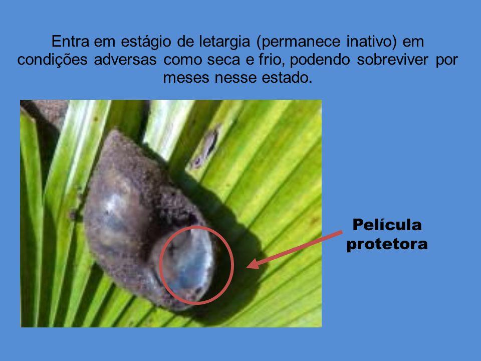 Entra em estágio de letargia (permanece inativo) em condições adversas como seca e frio, podendo sobreviver por meses nesse estado.