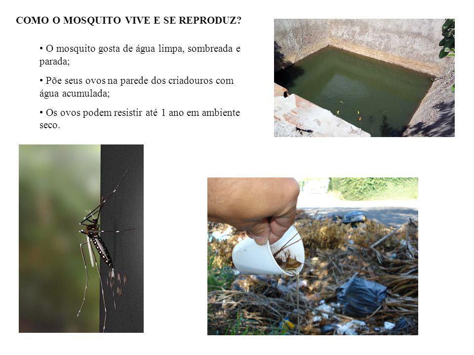 CARACTERÍSTICAS DO MOSQUITO - Menor que o pernilongo comum; - Corpo preto e listrado de branco; - Reproduz em água limpa e parada