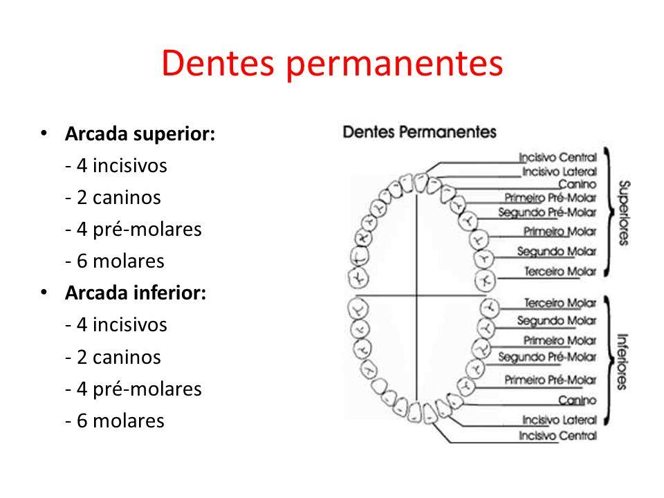 Dentes permanentes Arcada superior: - 4 incisivos - 2 caninos - 4 pré-molares - 6 molares Arcada inferior: - 4 incisivos - 2 caninos - 4 pré-molares - 6 molares