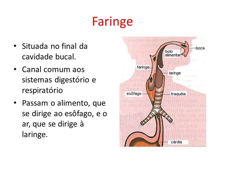Faringe Situada no final da cavidade bucal. Canal comum aos sistemas digestório e respiratório Passam o alimento, que se dirige ao esôfago, e o ar, qu