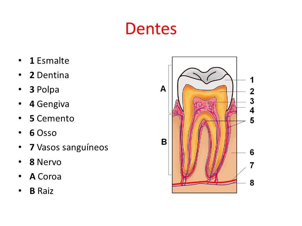 Dentes 1 Esmalte 2 Dentina 3 Polpa 4 Gengiva 5 Cemento 6 Osso 7 Vasos sanguíneos 8 Nervo A Coroa B Raiz