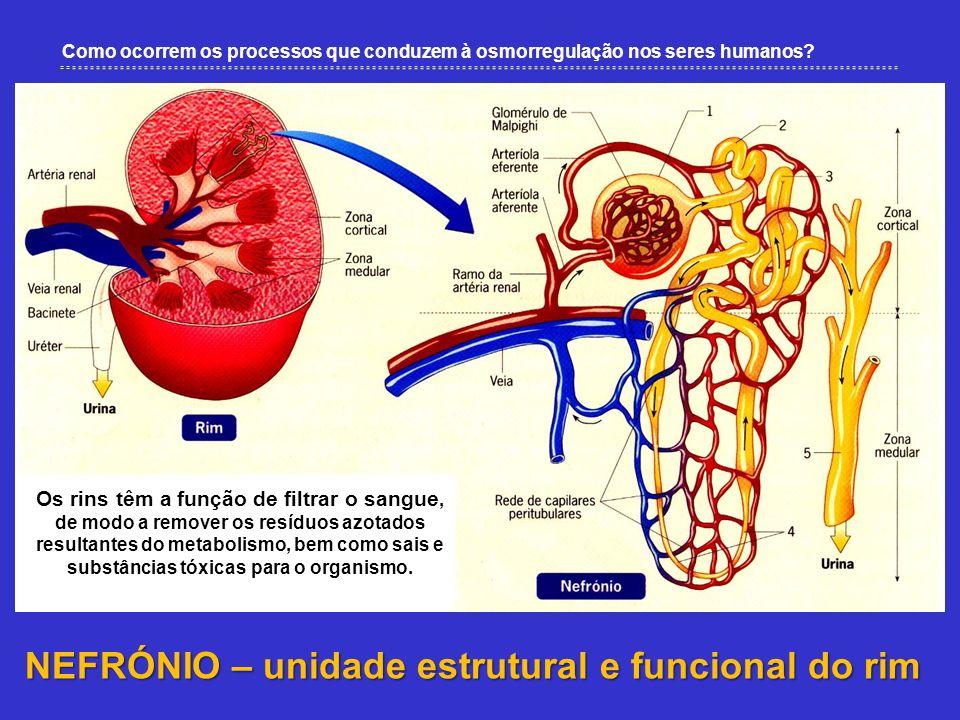 Como ocorrem os processos que conduzem à osmorregulação nos seres humanos? NEFRÓNIO – unidade estrutural e funcional do rim Os rins têm a função de fi