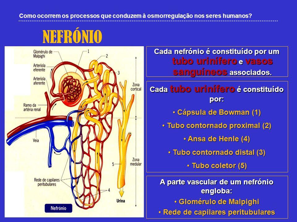 Como ocorrem os processos que conduzem à osmorregulação nos seres humanos? NEFRÓNIO Cada nefrónio é constituído por um tubo urinífero e vasos sanguíne