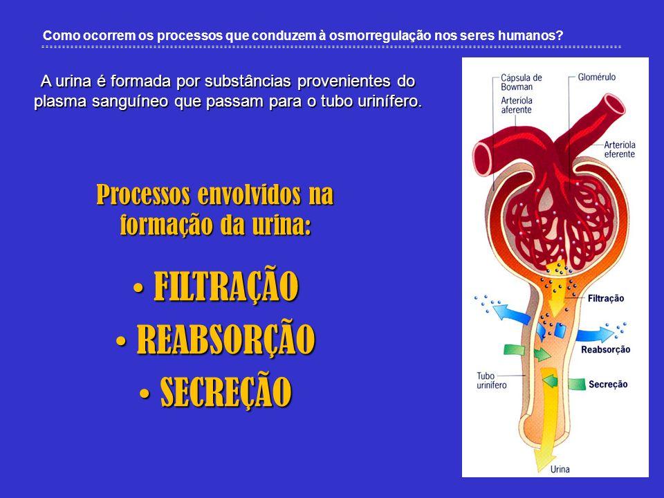 Como ocorrem os processos que conduzem à osmorregulação nos seres humanos? A urina é formada por substâncias provenientes do plasma sanguíneo que pass