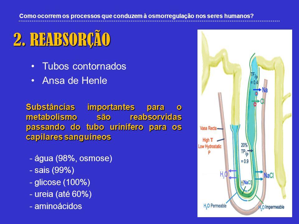 Como ocorrem os processos que conduzem à osmorregulação nos seres humanos? 2. REABSORÇÃO Tubos contornados Ansa de Henle Substâncias importantes para