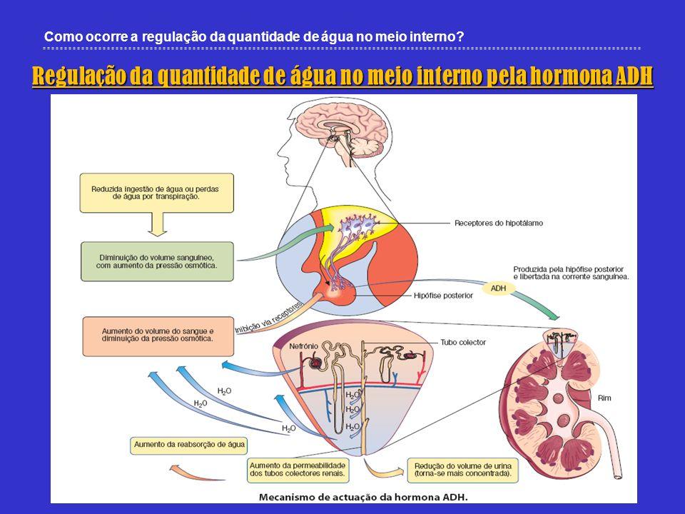 Como ocorre a regulação da quantidade de água no meio interno? Regulação da quantidade de água no meio interno pela hormona ADH