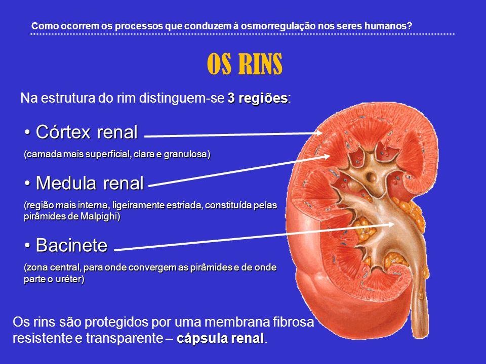 Como ocorrem os processos que conduzem à osmorregulação nos seres humanos? OS RINS Córtex renal Córtex renal (camada mais superficial, clara e granulo