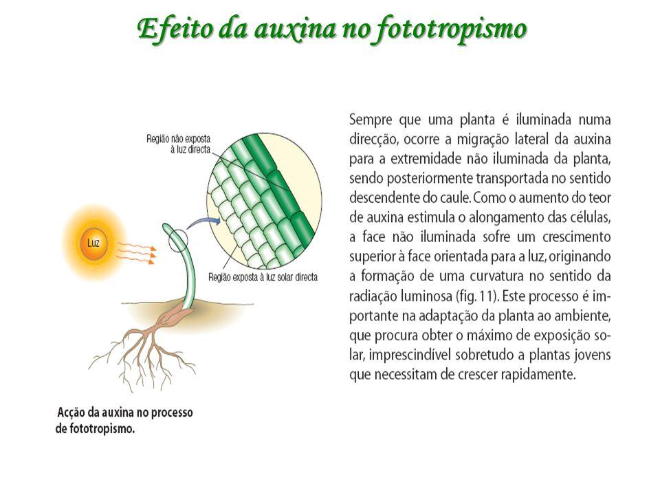 Efeito da auxina no fototropismo
