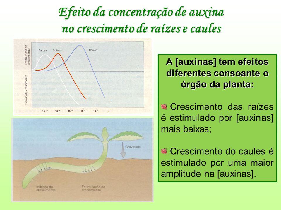 Efeito da concentração de auxina no crescimento de raízes e caules A [auxinas] tem efeitos diferentes consoante o órgão da planta: Crescimento das raízes é estimulado por [auxinas] mais baixas; Crescimento do caules é estimulado por uma maior amplitude na [auxinas].