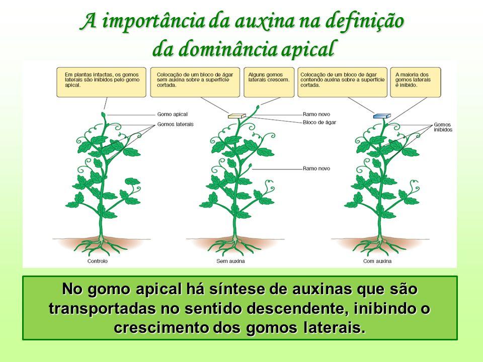A importância da auxina na definição da dominância apical No gomo apical há síntese de auxinas que são transportadas no sentido descendente, inibindo o crescimento dos gomos laterais.