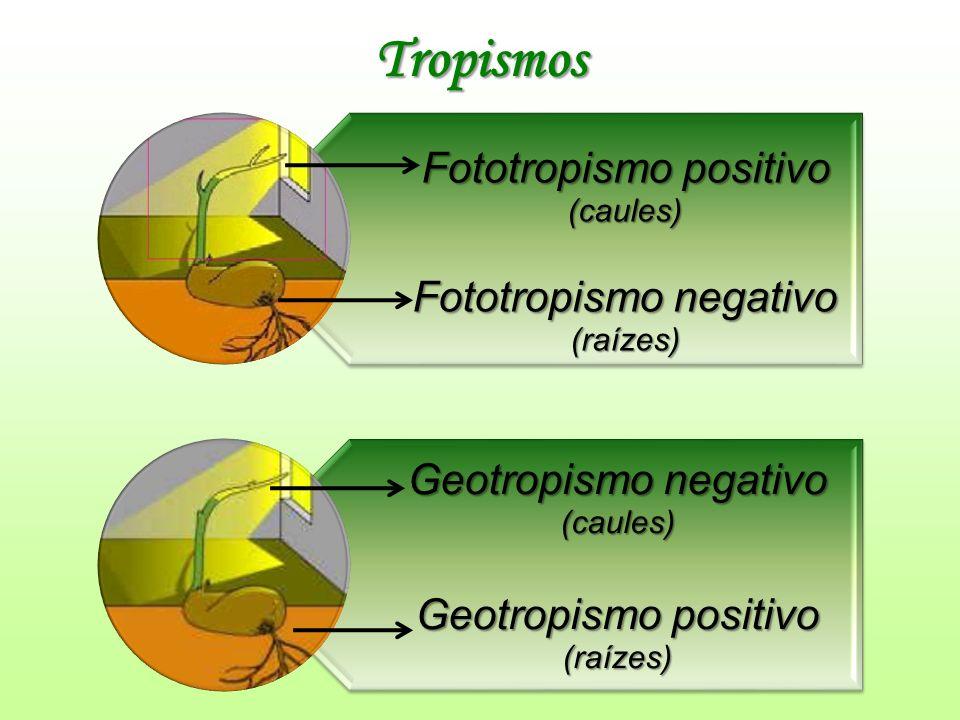 Tropismos Fototropismo positivo (caules) Fototropismo negativo (raízes) Geotropismo negativo (caules) Geotropismo positivo (raízes)
