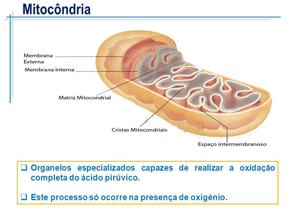 Mitocôndria Organelos especializados capazes de realizar a oxidação completa do ácido pirúvico. Este processo só ocorre na presença de oxigénio.