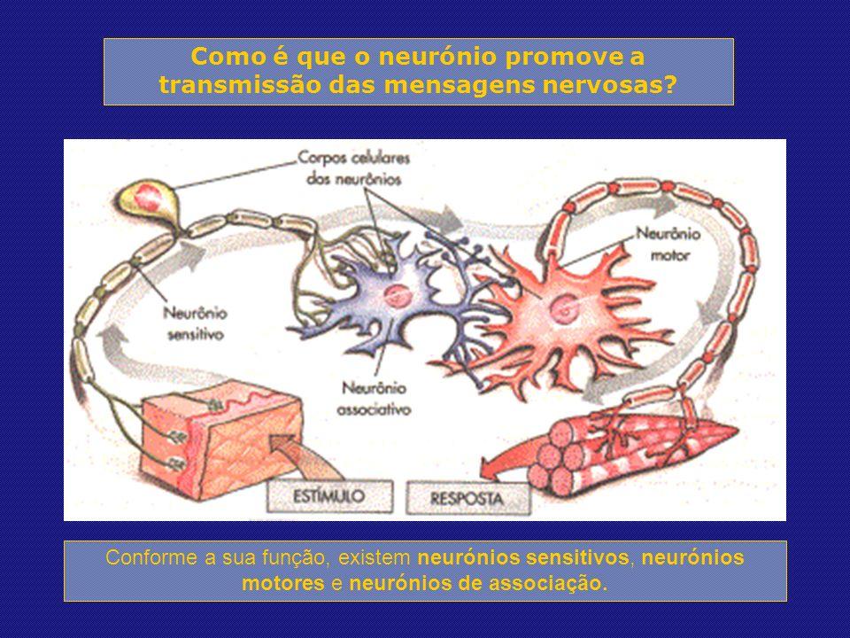 Conforme a sua função, existem neurónios sensitivos, neurónios motores e neurónios de associação.