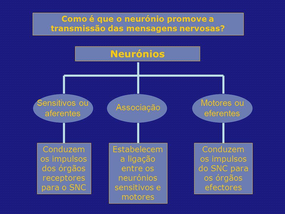 Neurónios Sensitivos ou aferentes Associação Motores ou eferentes Conduzem os impulsos dos órgãos receptores para o SNC Estabelecem a ligação entre os neurónios sensitivos e motores Conduzem os impulsos do SNC para os órgãos efectores