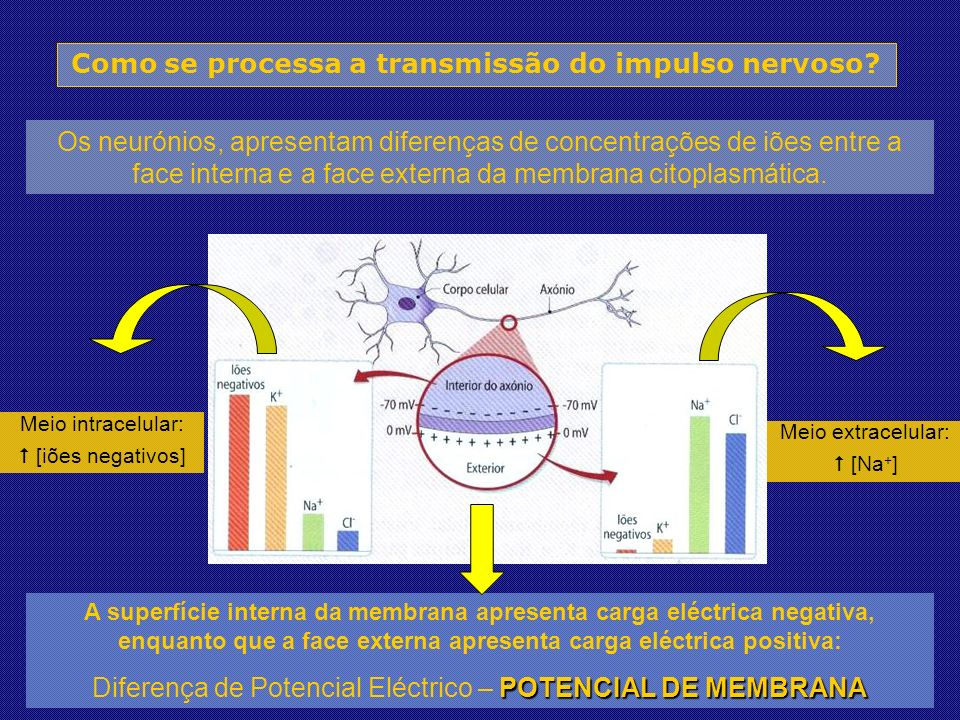 Os neurónios, apresentam diferenças de concentrações de iões entre a face interna e a face externa da membrana citoplasmática.