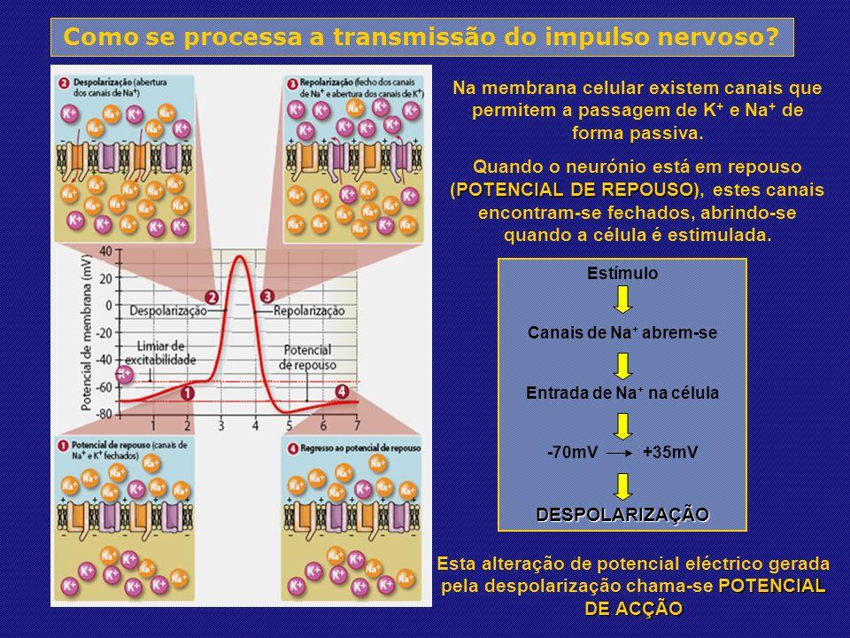 Como se processa a transmissão do impulso nervoso.