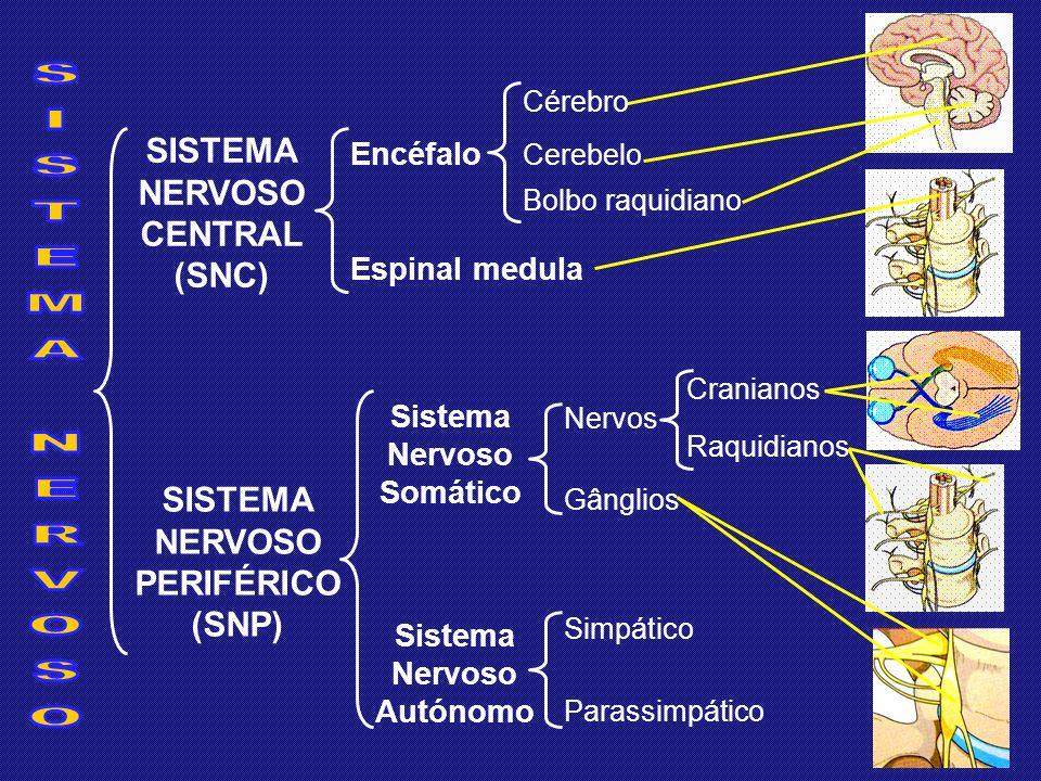 SISTEMA NERVOSO CENTRAL (SNC) SISTEMA NERVOSO PERIFÉRICO (SNP) Encéfalo Cérebro Cerebelo Bolbo raquidiano Espinal medula Sistema Nervoso Somático Sistema Nervoso Autónomo Simpático Parassimpático Nervos Gânglios Cranianos Raquidianos