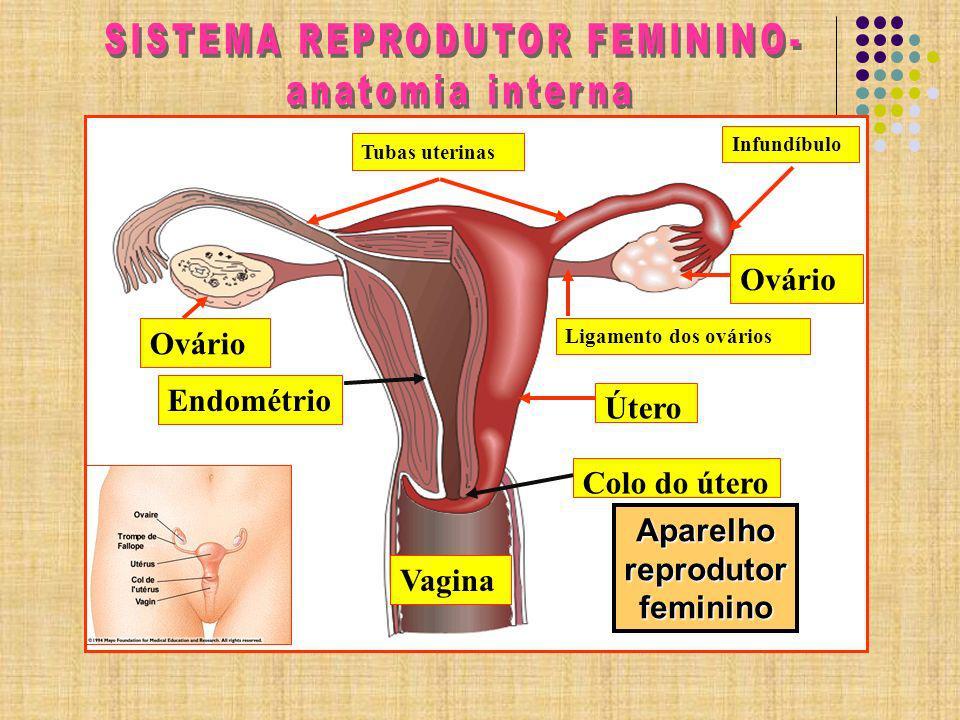 HOMOLOGIA DOS Ó RGÃOS GENITAIS EXTERNOS