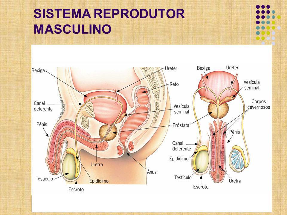 Aparelho Masculino Pênis Bolsa Escrotal (mantém os testículos cerca de 2°C mais frio para produção de espermatozóides) 2 Testículos: função endócrina (células intersticiais – Leydig - testosterona) e produção de espermatozóide (túbulos seminíferos) Epidídimo (armazena) Ducto deferente Vesículas Seminais Próstata Uretra