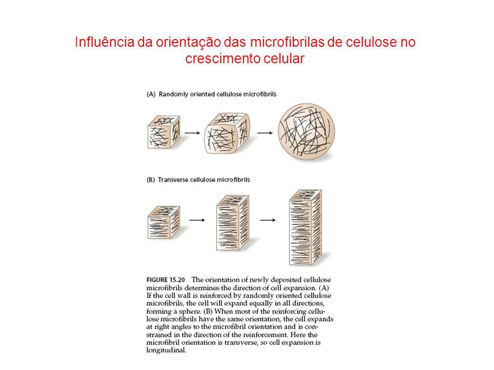 Influência da orientação das microfibrilas de celulose no crescimento celular