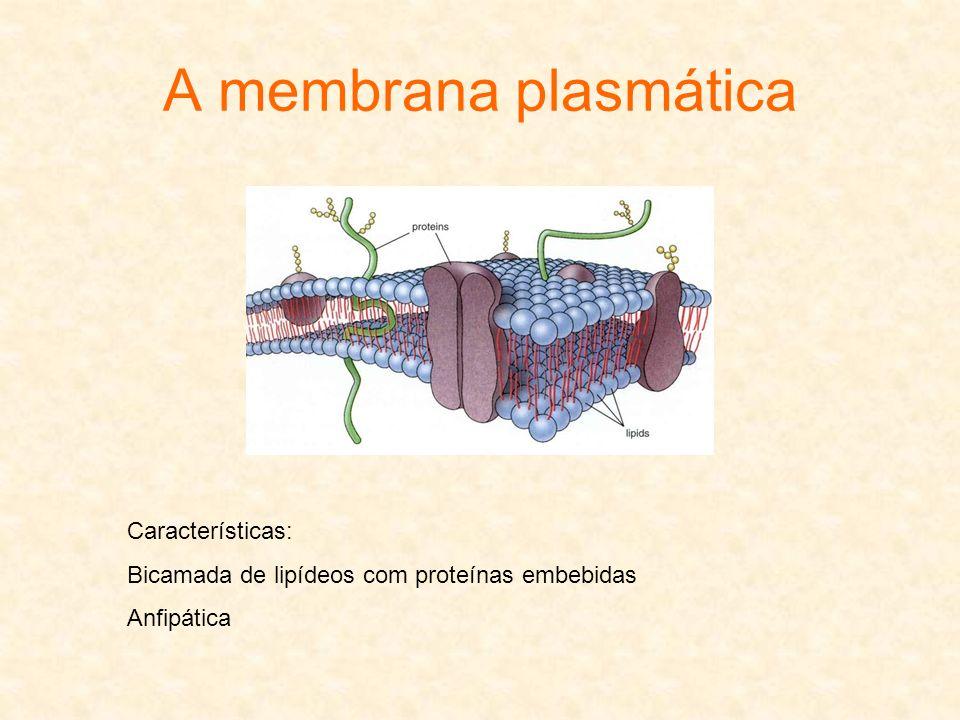 A membrana plasmática Características: Bicamada de lipídeos com proteínas embebidas Anfipática