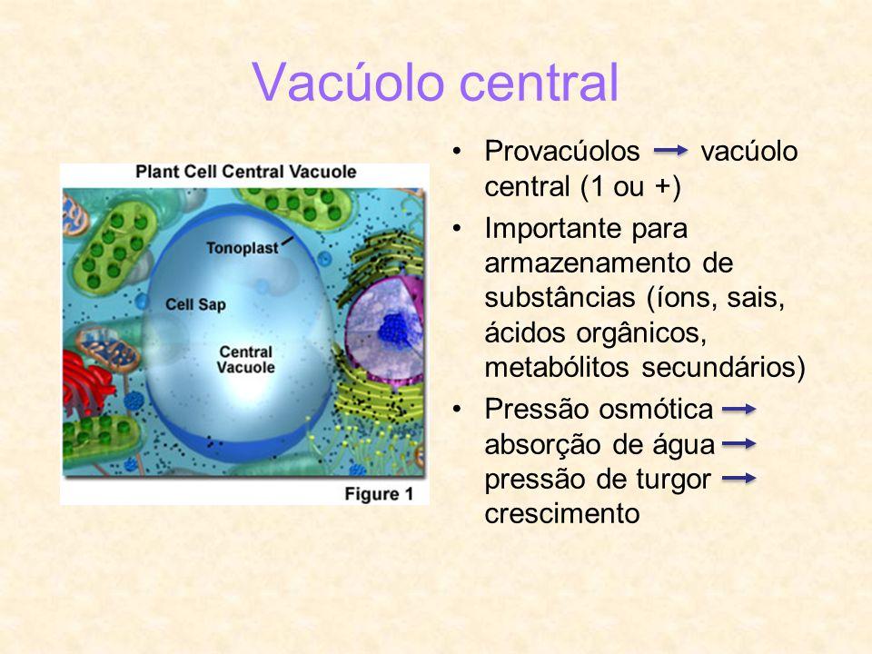 Vacúolo central Provacúolos vacúolo central (1 ou +) Importante para armazenamento de substâncias (íons, sais, ácidos orgânicos, metabólitos secundári