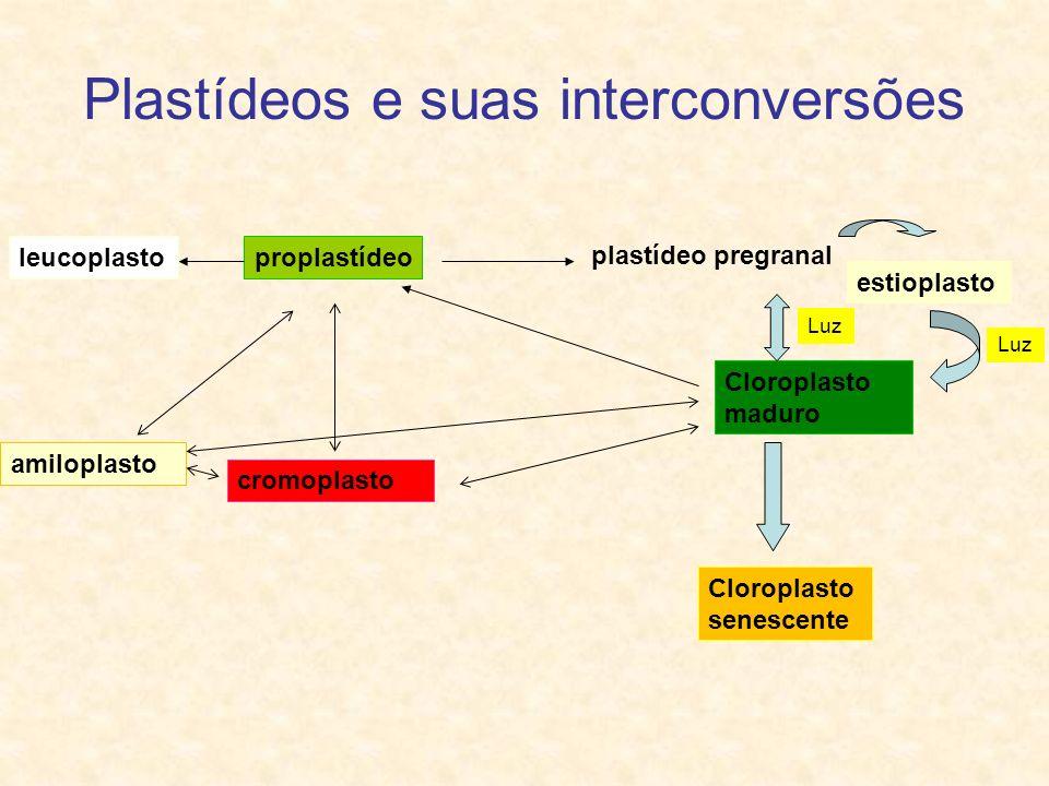Plastídeos e suas interconversões plastídeo pregranal Cloroplasto maduro Cloroplasto senescente cromoplasto proplastídeoleucoplasto amiloplasto estiop