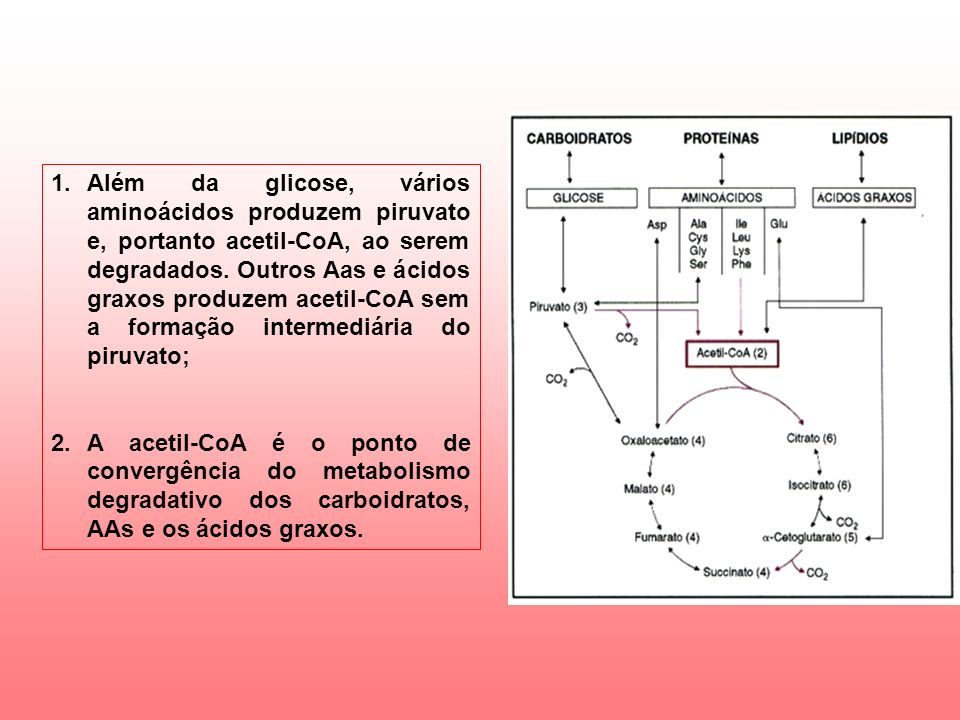 1.Além da glicose, vários aminoácidos produzem piruvato e, portanto acetil-CoA, ao serem degradados.