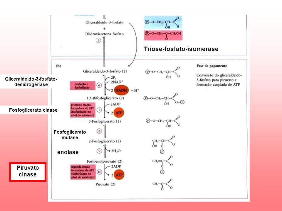 Triose-fosfato-isomerase Gliceraldeído-3-fosfato- desidrogenase Fosfoglicerato cinase Fosfoglicerato mutase enolase Piruvato cinase