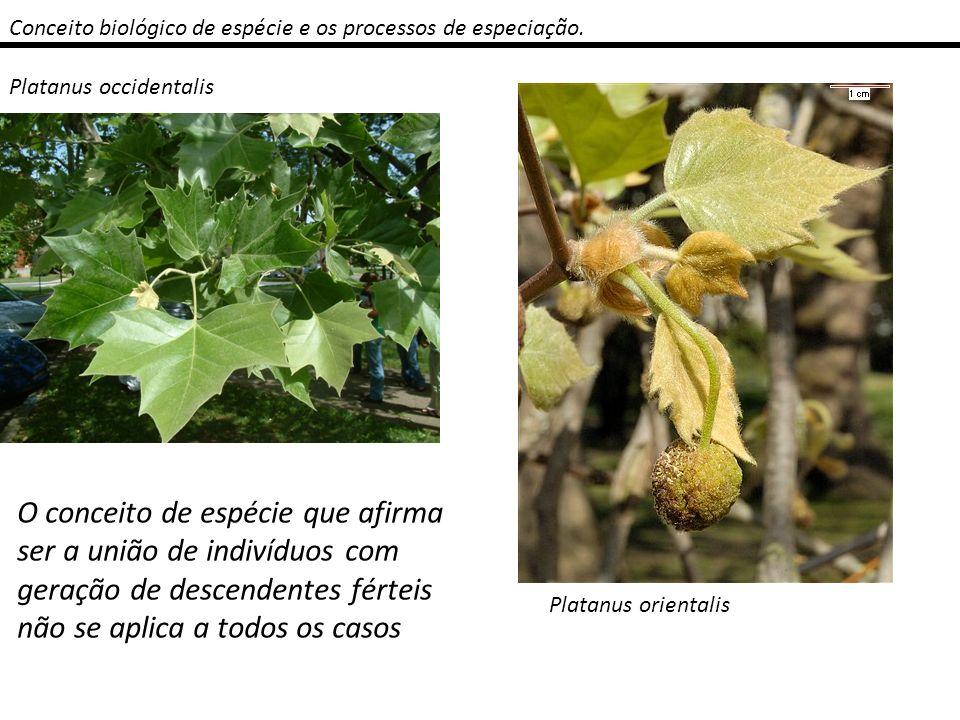 Conceito biológico de espécie e os processos de especiação. Platanus occidentalis Platanus orientalis O conceito de espécie que afirma ser a união de