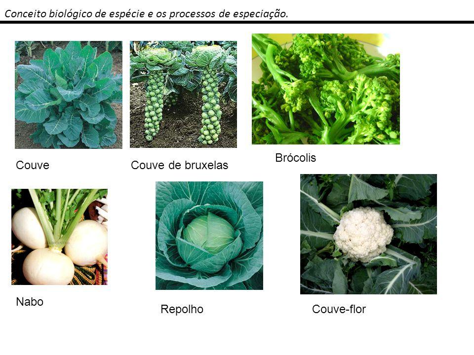 Conceito biológico de espécie e os processos de especiação. CouveCouve de bruxelas Brócolis Nabo RepolhoCouve-flor