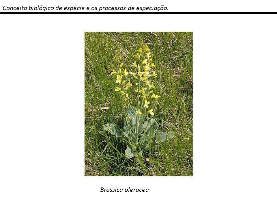 Conceito biológico de espécie e os processos de especiação. Brassica oleracea