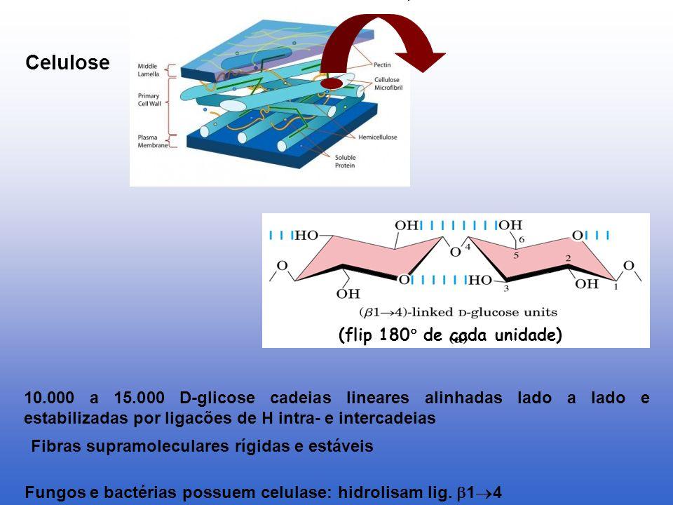 Fungos e bactérias possuem celulase: hidrolisam lig. 1 4 (flip 180 de cada unidade) 10.000 a 15.000 D-glicose cadeias lineares alinhadas lado a lado e
