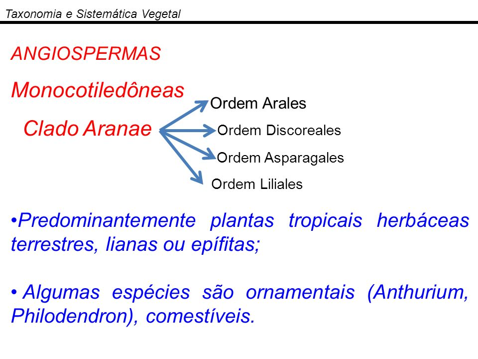 ANGIOSPERMAS Monocotiledôneas Clado Aranae Predominantemente plantas tropicais herbáceas terrestres, lianas ou epífitas; Algumas espécies são ornament