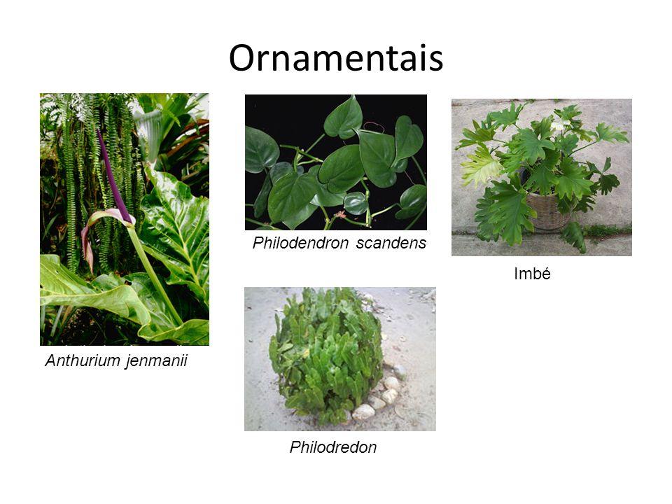 Ornamentais Anthurium jenmanii Philodendron scandens Imbé Philodredon