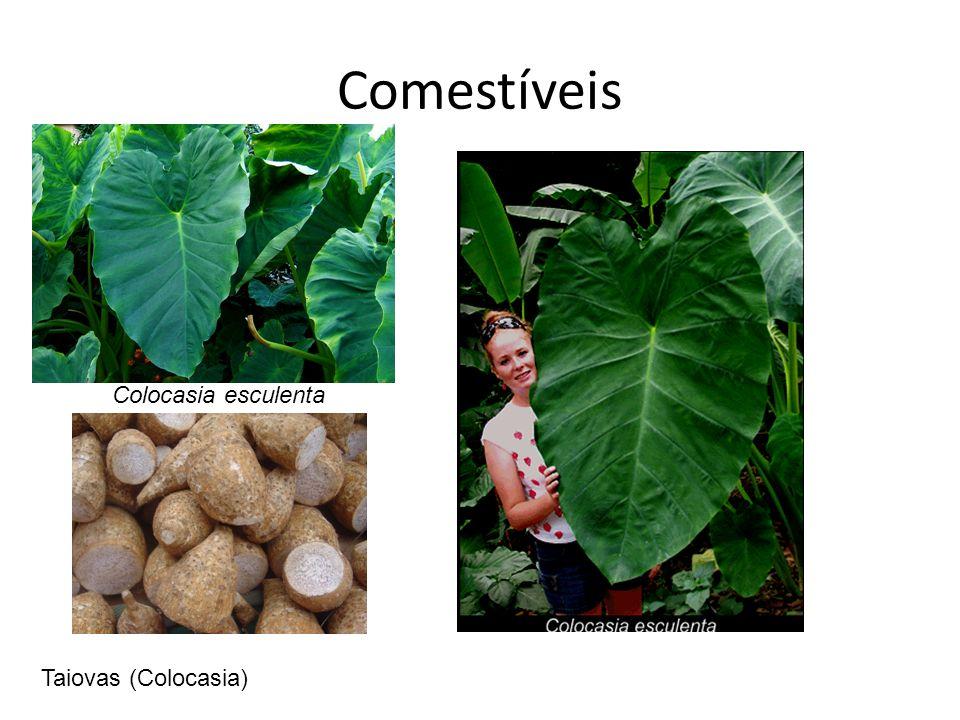 Comestíveis Colocasia esculenta Taiovas (Colocasia)