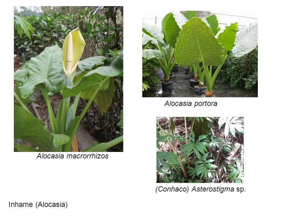 Alocasia portora Alocasia macrorrhizos (Conhaco) Asterostigma sp. Inhame (Alocasia)