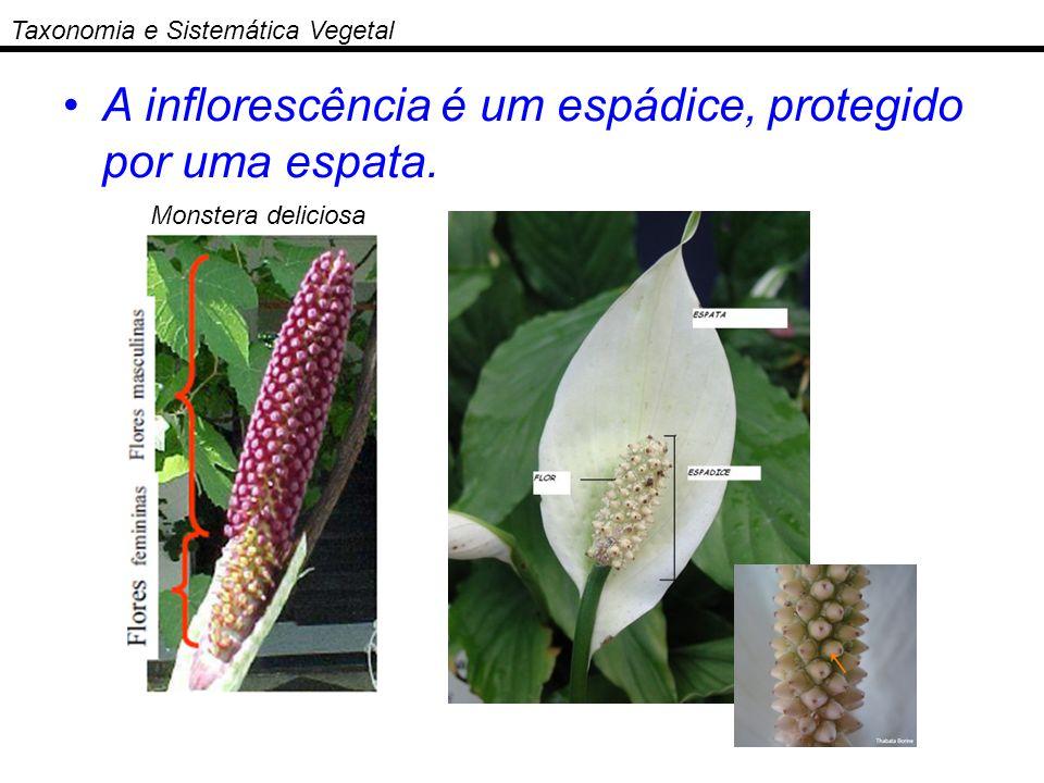 Taxonomia e Sistemática Vegetal A inflorescência é um espádice, protegido por uma espata. Monstera deliciosa