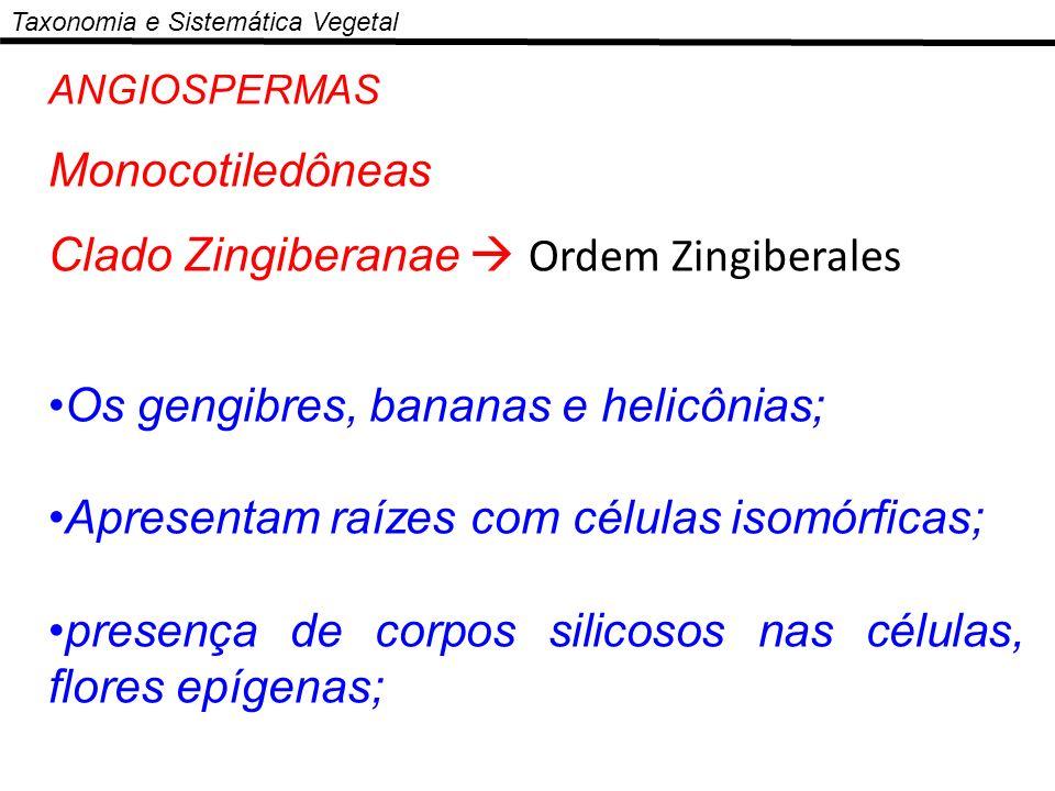 ANGIOSPERMAS Monocotiledôneas Clado Zingiberanae Ordem Zingiberales Os gengibres, bananas e helicônias; Apresentam raízes com células isomórficas; pre